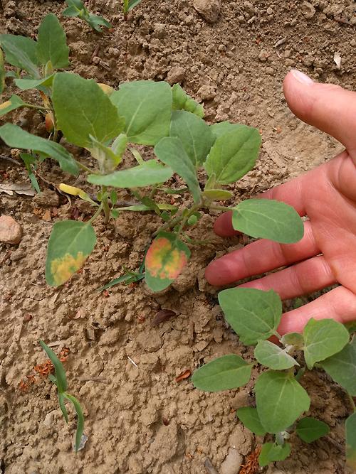 Quinoapflanze im Anfangsstadium